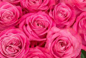 マゼンタのバラ