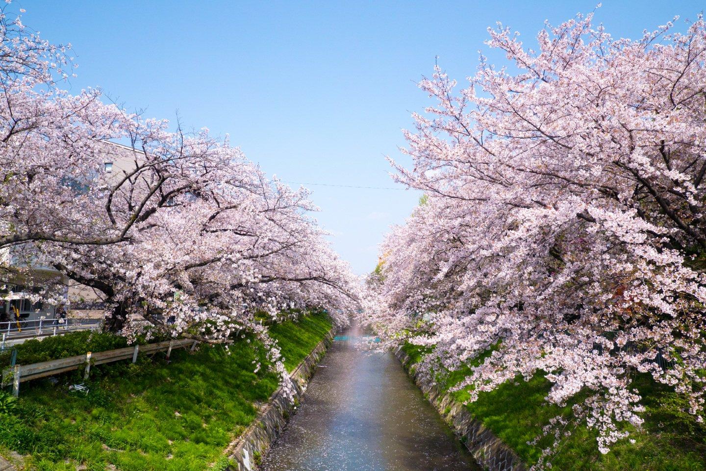 黒川・御用水跡街園の桜