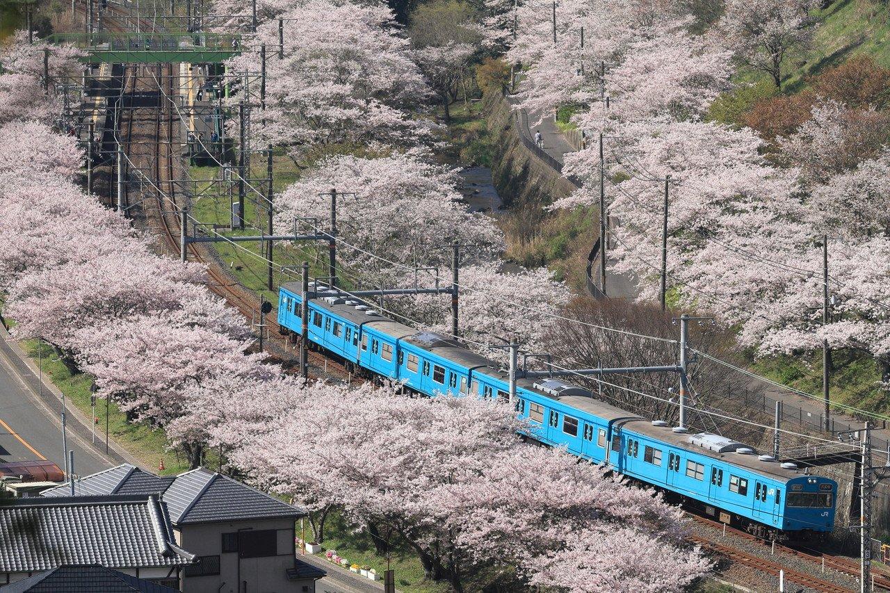 山中渓桜15