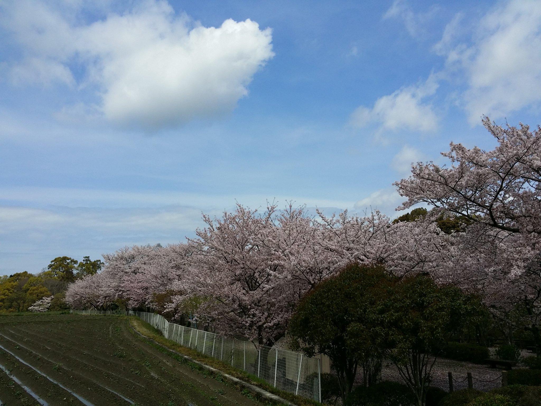 大井関公園桜24