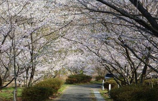 近つ飛鳥博物館桜25