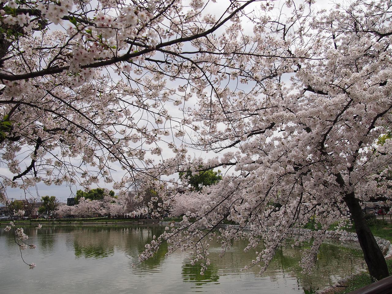 万代池公園桜36
