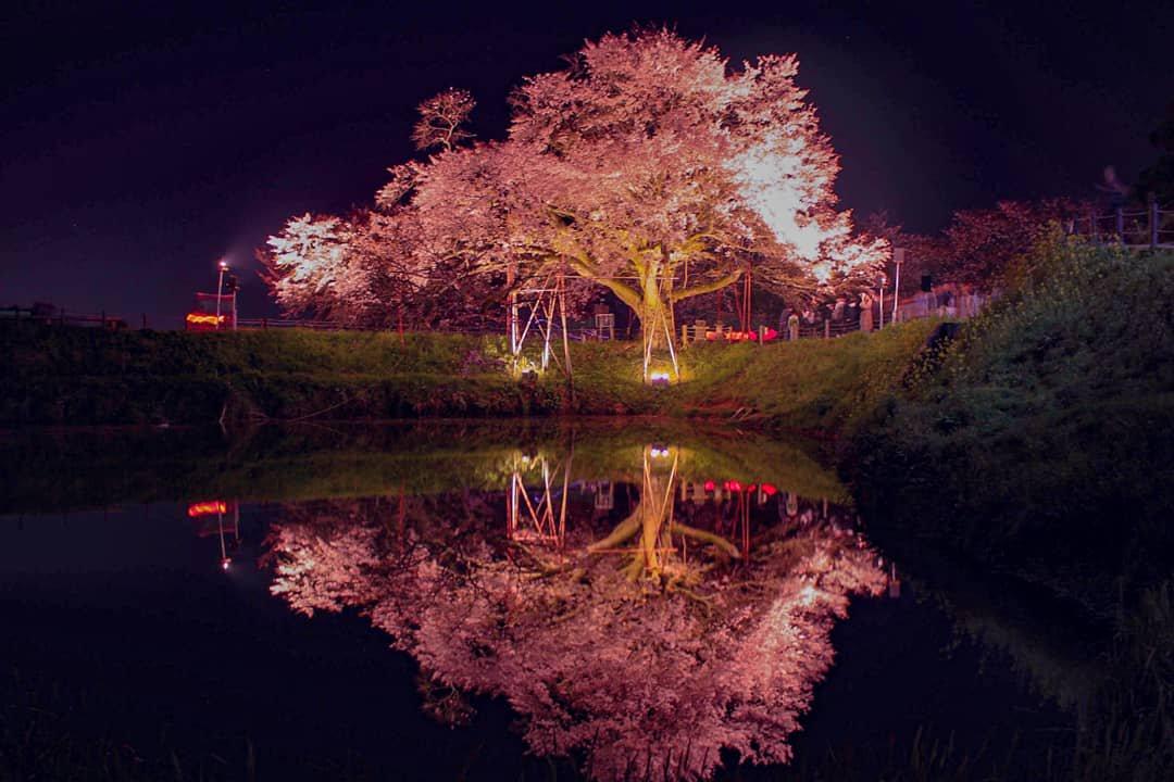 浅井の一本桜17