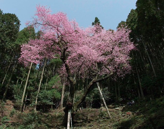 虎尾桜22