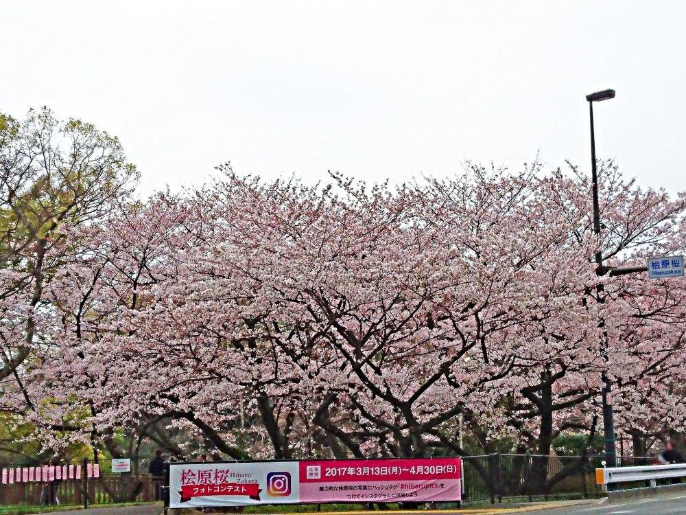 桧原桜公園さくら23