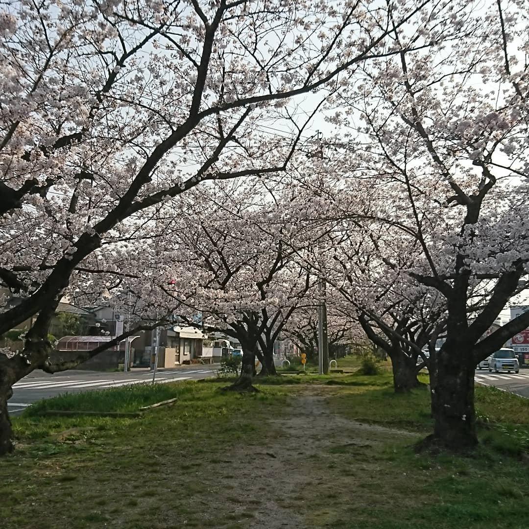 雑餉隈桜並木通りさくら29