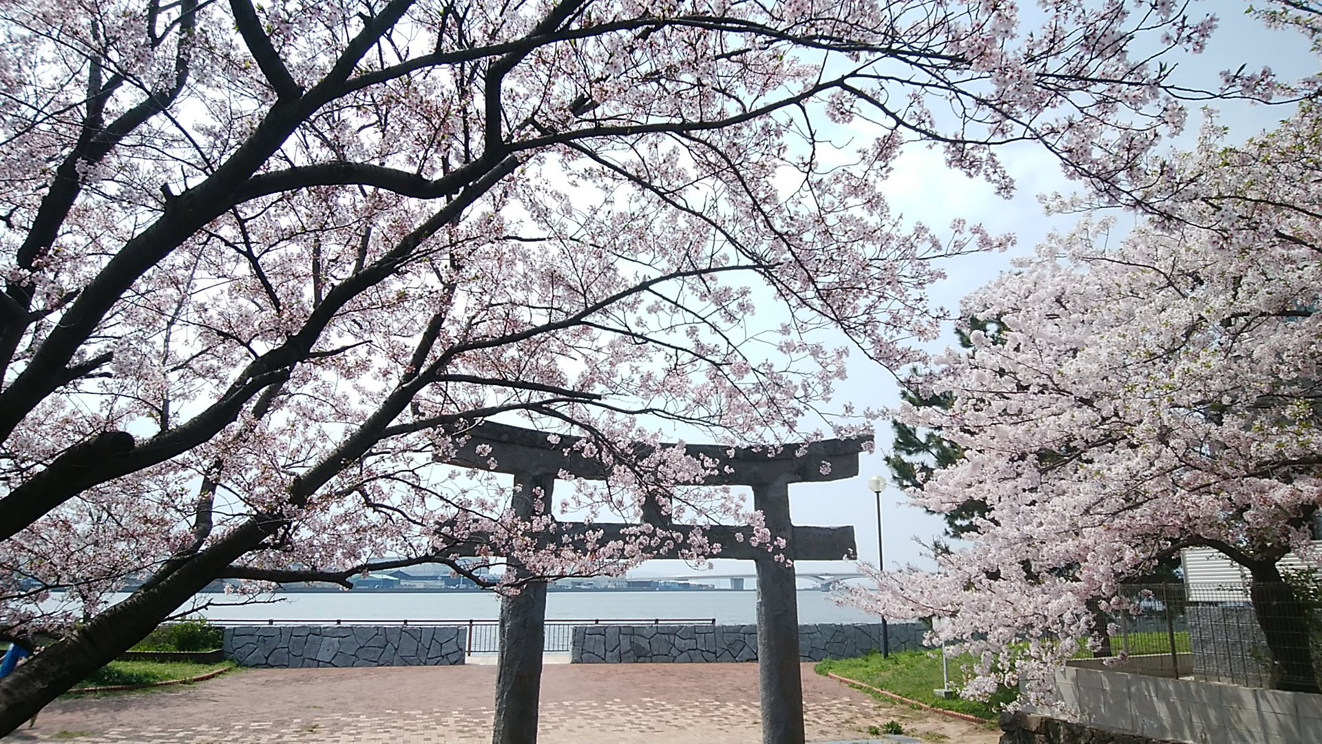 名島神社さくら39
