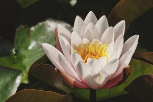 water-lily-3504112_1920