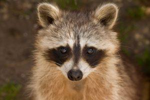 raccoon-1644538_1920